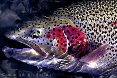 rainbow-trout1.jpg