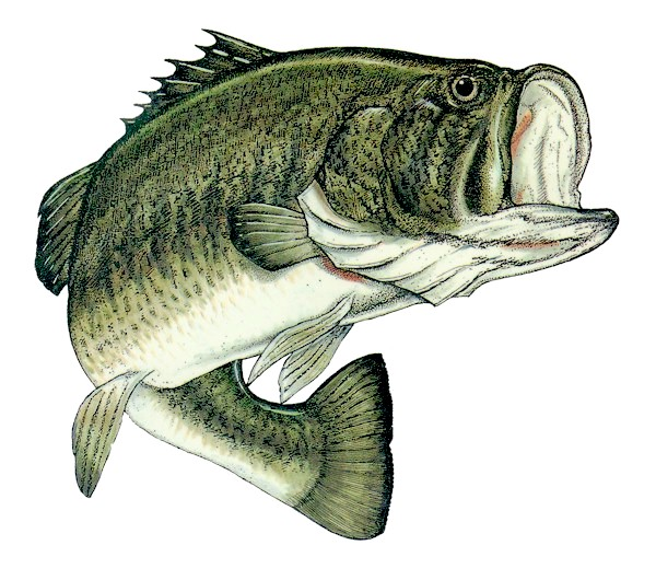 largemouth bass eating - photo #42