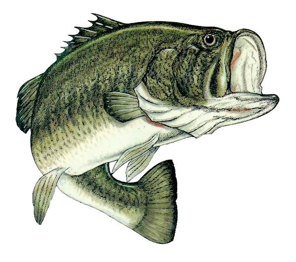 largemouth bass eating - photo #42