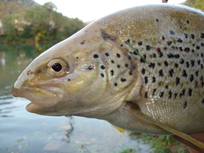 Steroidal Brown Trout