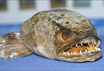 PETA Trained Snakehead Fish Kills Humans