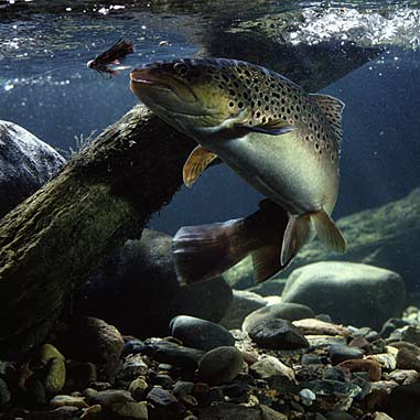 Underwater Brown Trout~Fishing Fury