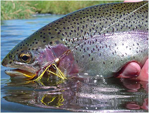 big-bow-ff-trout