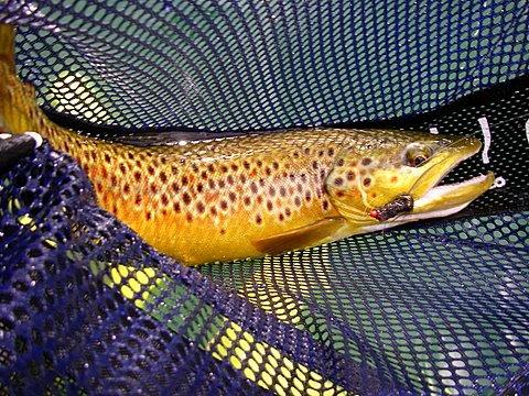 Brown Trout W/ Leech~Lynn Dingler