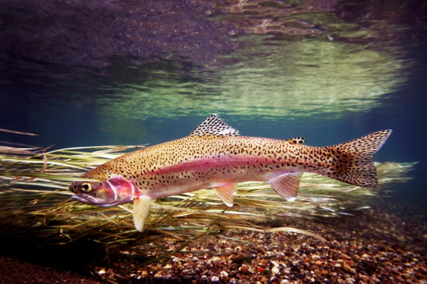 Yellowstone Rainbow Trout~FishEyeGuy Photography