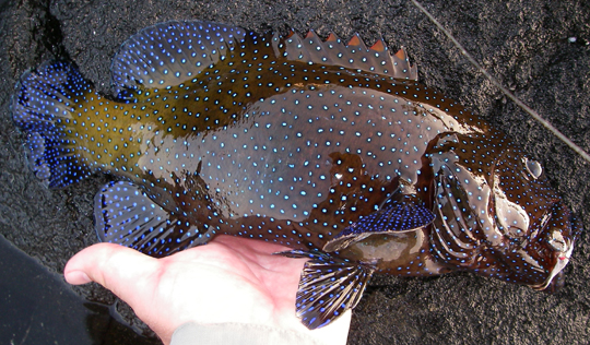 Peacock Grouper by Aaron at http://streamtime.blogspot.com/