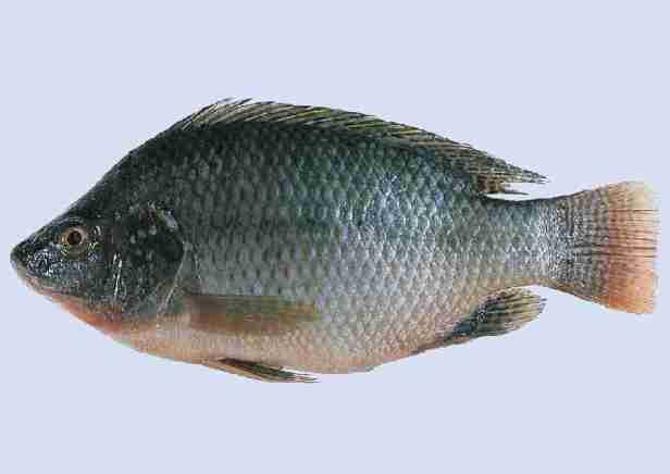 Tilapia (Invasive in SE U.S.)