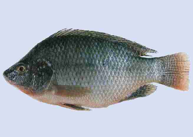 Tilapia (Invasive in SE U.S.)