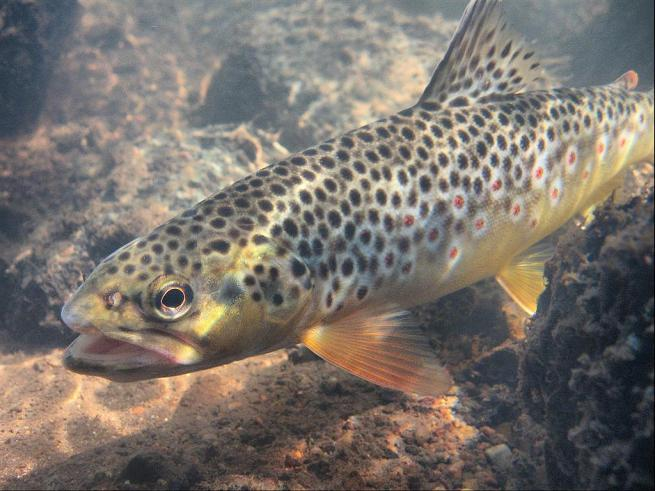 Trinkunas Brown Trout
