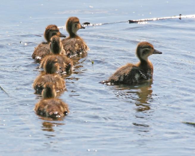 Spokane's Sterling Bank Ducks