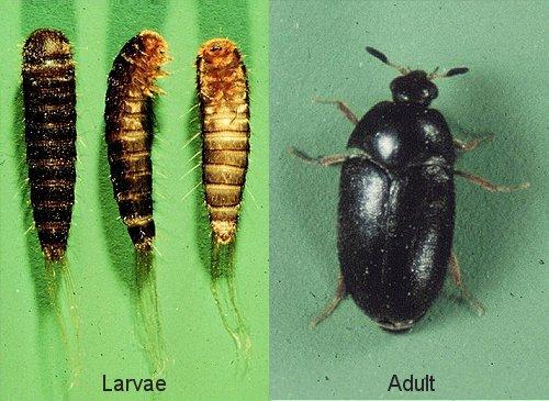Carpet Beetles (Larva and Adult)