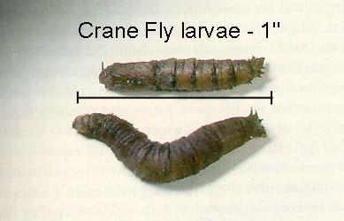 crane_fly2