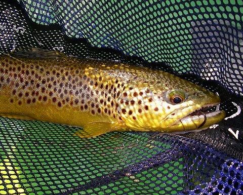 Brown Trout~Lynn Dingler/Oregon