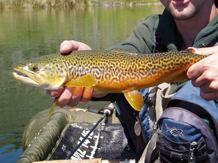 Tiger trout fishusa forums for Fish stocking near me