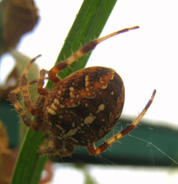 OREGON Spider (swittersb)