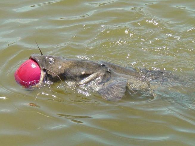 catfish-basketball-2-thumb