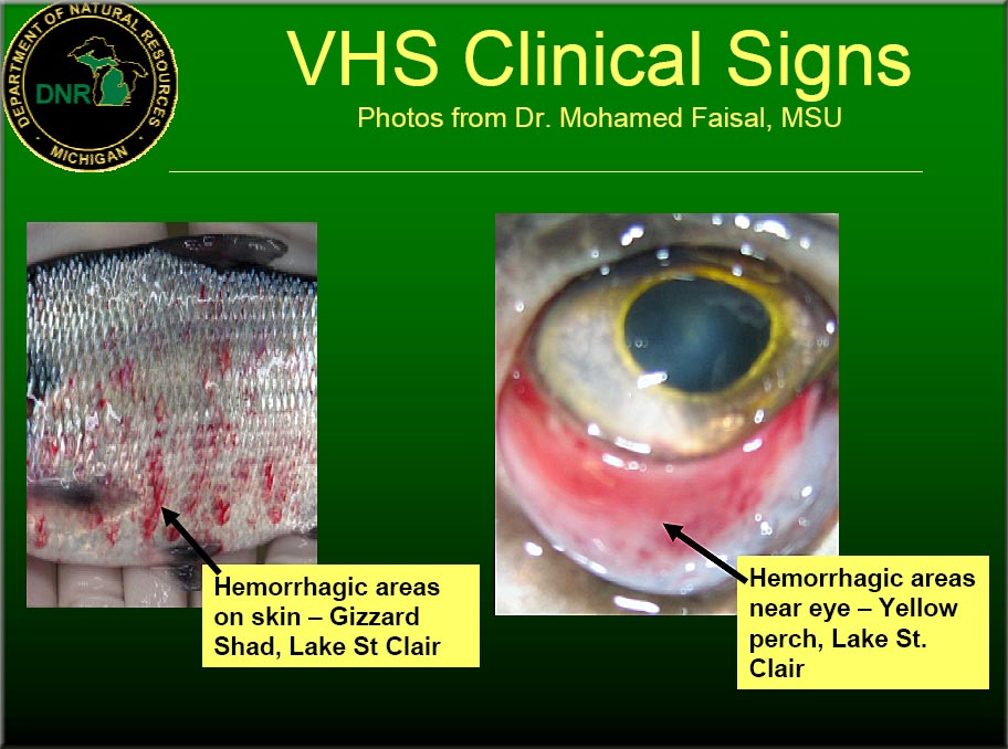 Vhs signs swittersb exploring for Septicemia in fish