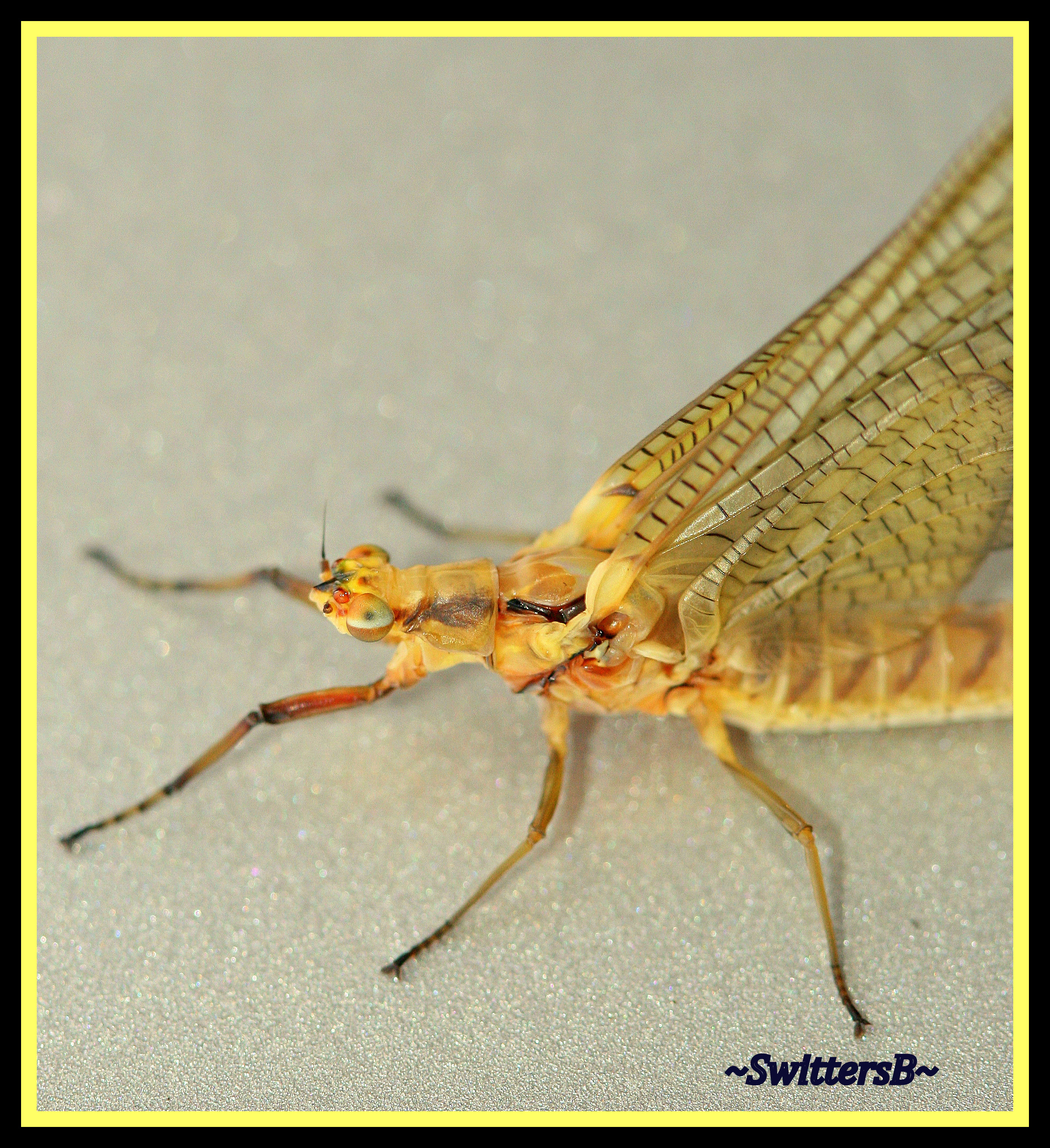 Fly fishing entomology the cat swittersb exploring for Fly fishing entomology