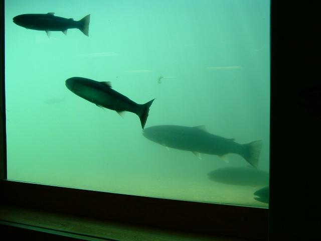Native fish runs swittersb exploring for Dam fish count
