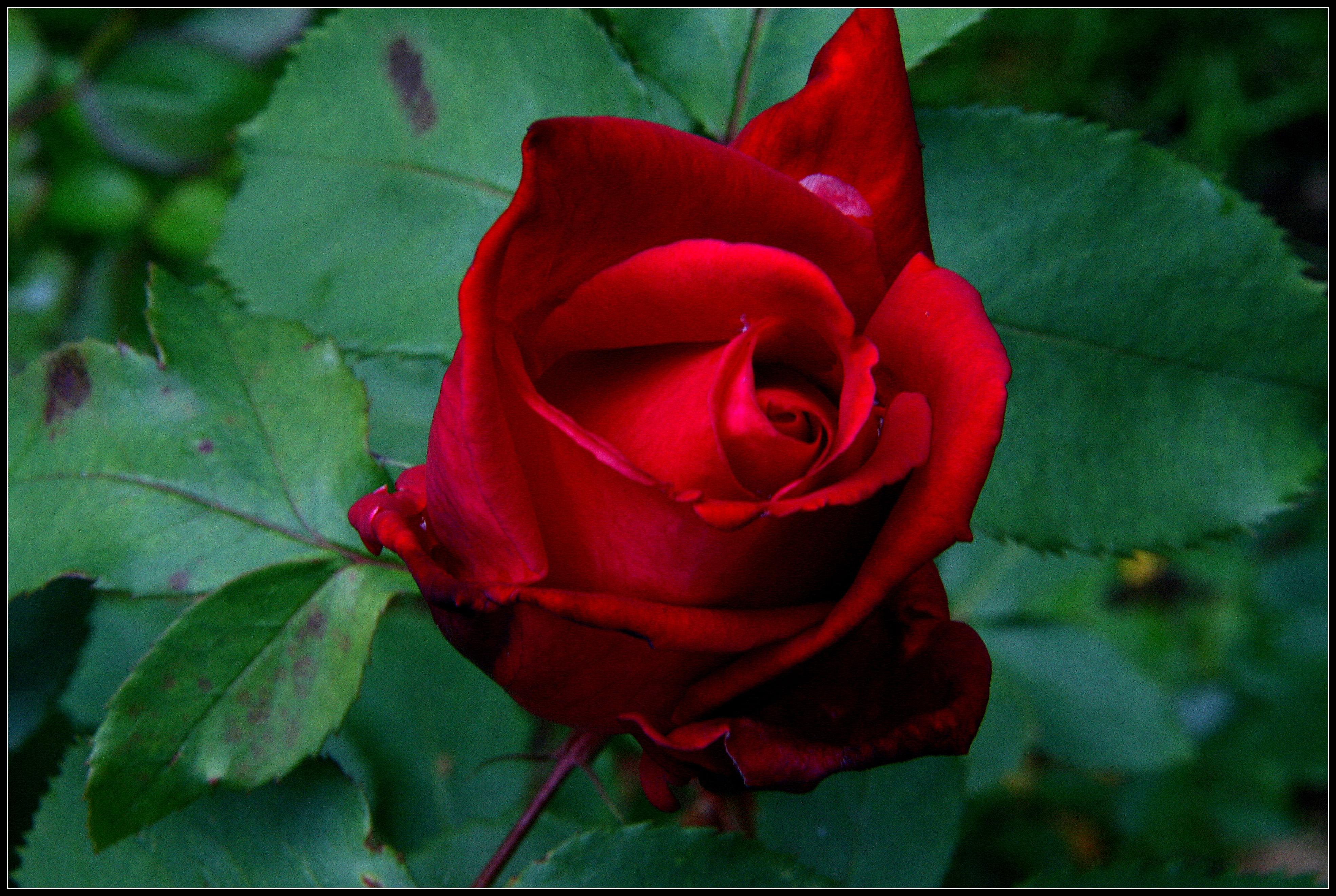 Roses Battered But Beautiful Swittersb Amp Exploring