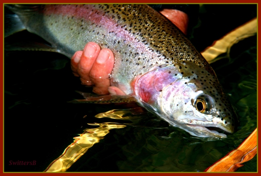 Trout Redside Release SB