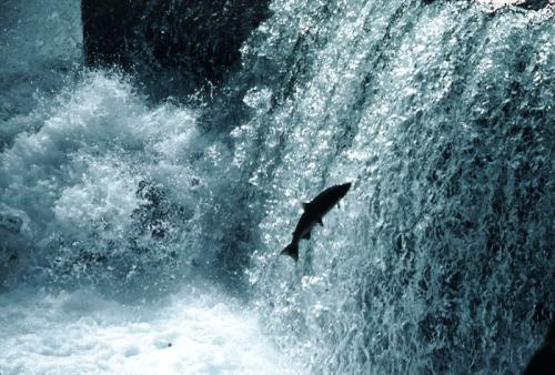 Salmon-Waterfall1