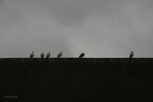 Seagulls1SB