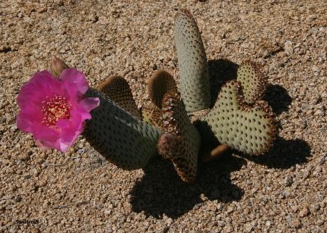 Cactus Bloom 2 SB