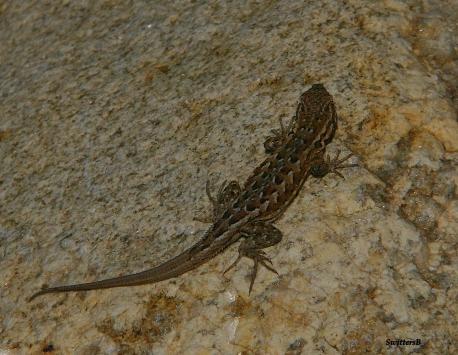 lil Lizard SB