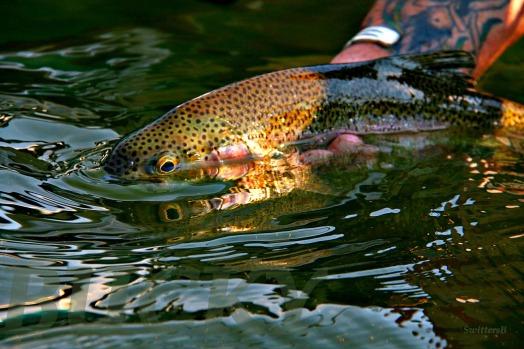 trout half in SBB