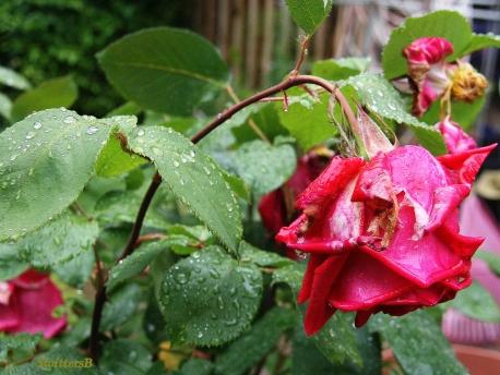 Battered Rose SB