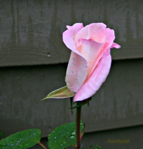 Pink Bud Perserveres SB
