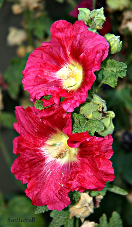 HollyHocks SB