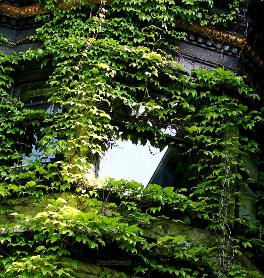 Ivy Covered Windows SB