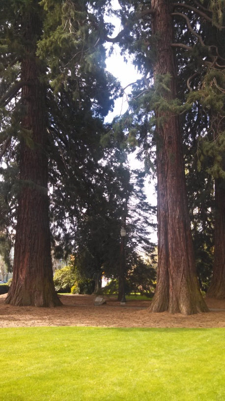 sequoiq trees wcch