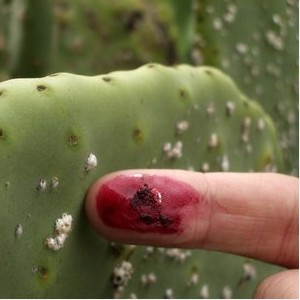 cochineal2