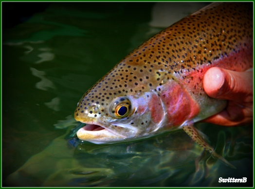 released trout