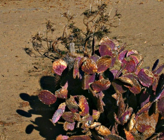 thumb cactus shadows SB