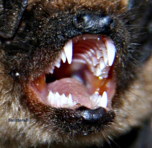 Bat Teeth