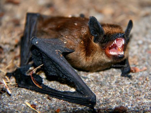 Bat2 SB
