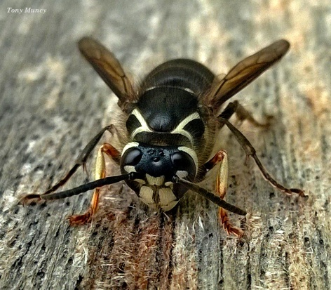 Bees Knees SB