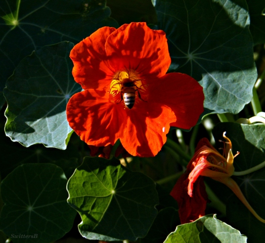 Nasturtium & Honey Bee SB