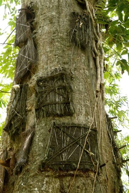 tana trees