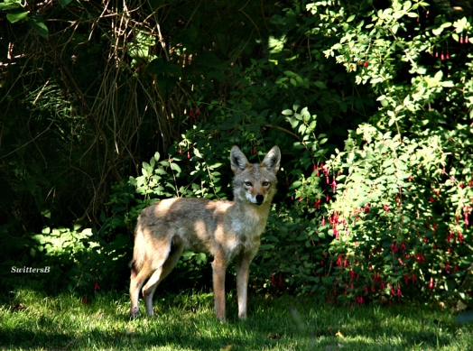 Wily Coyote 2
