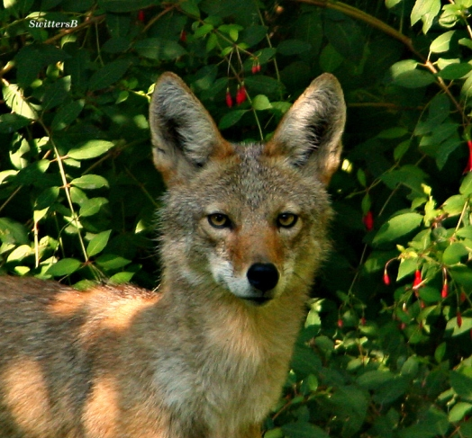 Wily Coyote 6