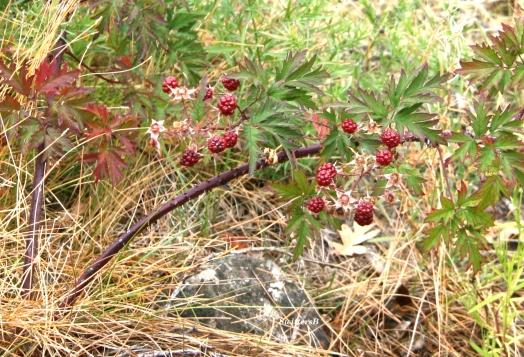 Berries Briars SB