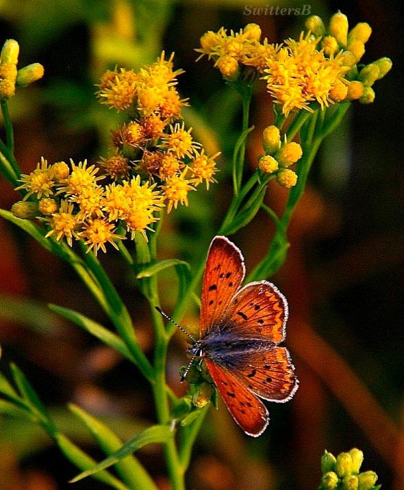 Orange Beauty SB