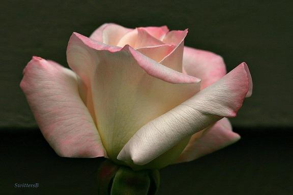 swittersb pale pink