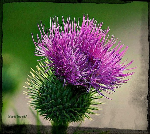 thistle bloom switttersb
