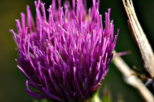 thistle flower SB